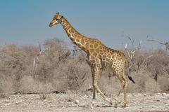 Giraffe in Namibia Afrika - stock photo
