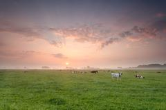 cattle herd on pasture at sunrise - stock photo