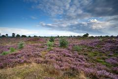 flowering heather in summer - stock photo