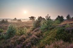 misty sunrise over dunes with flowering heather - stock photo