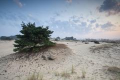 Pine tree on sand dune at sunrise Stock Photos