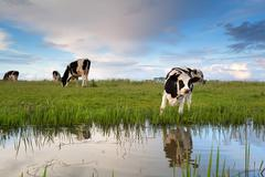 cow grazing on pasture by river - stock photo