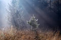 morning sunbeams in foggy forest - stock photo