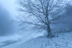 old beech tree in winter fog - stock photo