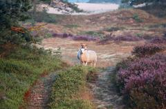 sheep in dunes with flowering heather in morning - stock photo