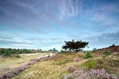 oak tree and flowering heather on dunes - stock photo