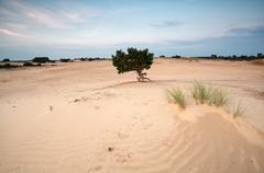 pine tree on sand dunes at sunset - stock photo