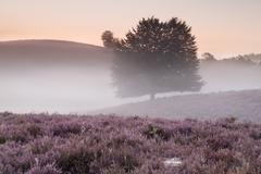 misty morning on hills with flowering heather - stock photo