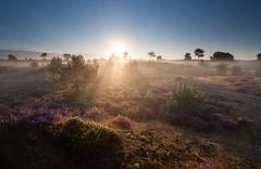 glowing misty sunrise on dune with heather - stock photo