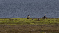 Family of barnacle geese forage for food in green moss near pond Stock Footage