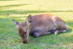 Baby Sika deer resting Stock Photos