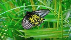Solitary Specimen of Common Birdwing Butterfly on a Leaf. Video UltraHD Stock Footage