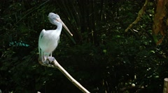 Pelican Perched on a Branch. UHD video Stock Footage