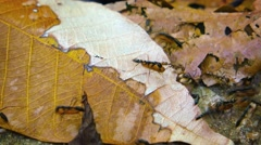 Ants Carrying Cargo over Dry, Fallen Leaves, with Sound. Video 3840x2160 Stock Footage