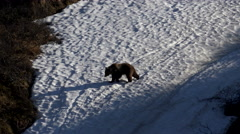 Brown Bear Grizzly Walking Across Melting Snowbank in Canada 4K Stock Footage