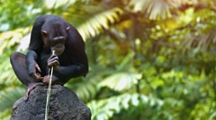 Mature Chimpanzee Perched on a Rock at the Zoo. Video 3840x2160 Stock Footage
