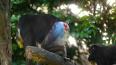 Male Mandrill Monkeys on a Branch at the Zoo. UHD video - stock footage