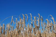 A grain field before blue sky - stock photo