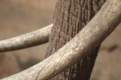 An elephant trunk with tusks - stock photo