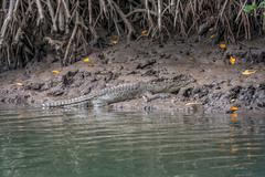 Crocodile on river bank, Daintree Stock Photos