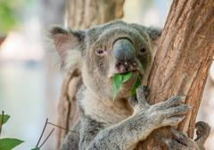 Eating Koala Bear in Tree - stock photo