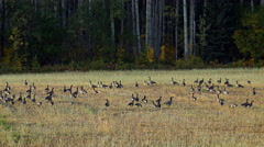 Canada Geese Flock in Meadow by Birch Forest 4K Stock Footage