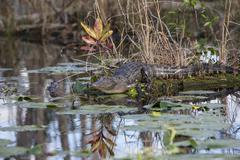 American alligator in natural habitat - stock photo