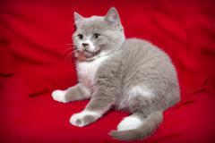 Kitten on a red background. Stock Photos