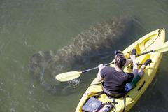 Manatee and kayaker, overhead view Stock Photos