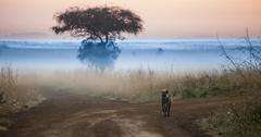 Hyena in pre dawn hours Stock Photos