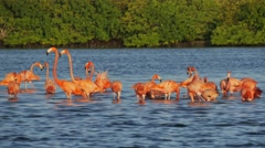 Flock of red flamingos standing into lagoon Stock Footage