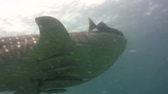 Whaleshark (Rhincodon typus) swimming from side Stock Footage