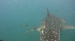 Whaleshark (Rhincodon typus) swimming from above Stock Footage