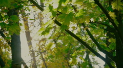 Maple leaves in the rays of the autumn sun Stock Footage