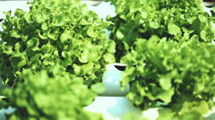 Hydroponics method of growing plants in water without soil. Stock Footage