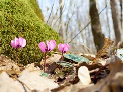 Firsts flowers Cyclamen sprout in spring forest. - stock photo