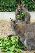 grazzing Red-necked Wallaby - stock photo