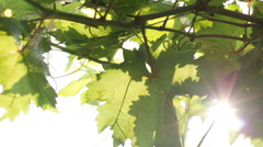 Vine leaves in the vineyard with sun rays Stock Footage