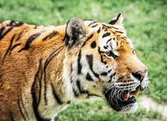Siberian tiger (Panthera tigris altaica) portrait, animal closeup scene - stock photo