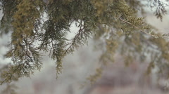 Cedar tree branch swaying, for titles Stock Footage