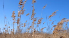 Sea Wheat during a Windy Cold Autumn Day - stock footage