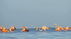 Red flamingos into lagoon seen from water level Stock Footage