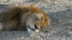 Lion (Panthero leo), Murchison Falls National Park, Uganda Stock Footage