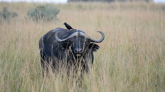 Wild African Buffalos, Murchison Falls National Park, Uganda, Africa Stock Footage