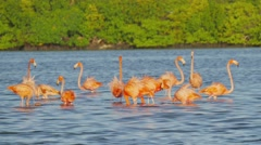 Red flamingos standing into the sea Stock Footage