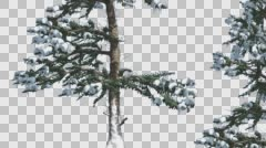 Snow on White Fir Rare Branches Coniferous Evergreen Tree is Swaying in Winter Stock Footage