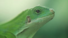 A small green lizard. Iguana closeup. Stock Footage