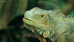 Lizard iguana closeup head of an animal. Stock Footage
