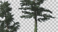 Two White Firs Coniferous Evergreen Trees Are Swaying at Strong Wind Green Stock Footage