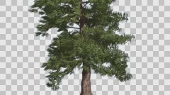 Western Red Cedar Coniferous Tree Trunk Evergreen Thin Tree is Swaying at the Stock Footage